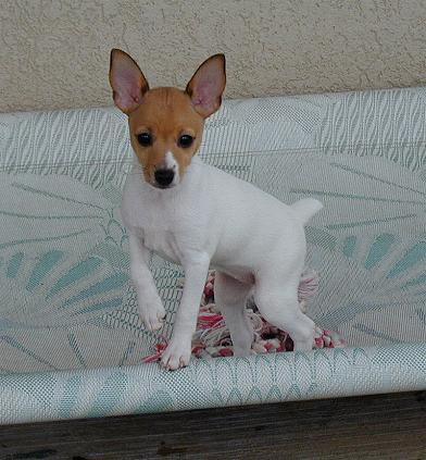 Foxhill Toy Fox Terriers